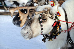 Reindeer Stock Photos