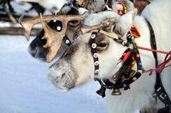 Reindeer. Sad face reindeer, frosty morning Stock Photos