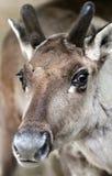 Reindeer. Close-up of a reindeer or caribou Royalty Free Stock Photos