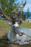 Reindeer. From remote northern part of Mongolia Royalty Free Stock Images