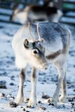 Reindeer. Close up of reindeer with selective focus Stock Photography