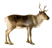 Reindeer (2 years) Royalty Free Stock Photo