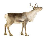 Reindeer (2 years) Stock Photography