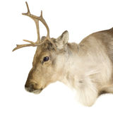 Reindeer (2 years) Royalty Free Stock Image
