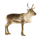 Reindeer (2 years) Royalty Free Stock Photo