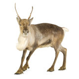 Reindeer (2 years) royalty free stock photography