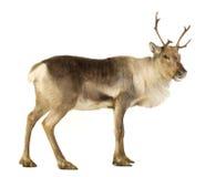 Reindeer (2 years) Stock Images