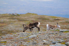 Reindeer Royalty Free Stock Photos