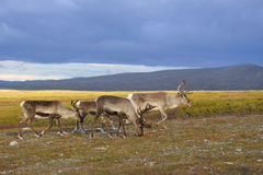 Reindeer. A herd of reindeer from foraging Stock Photography