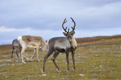 Reindeer. A herd of reindeer from foraging Royalty Free Stock Images