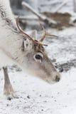 Reindeer. A closeup photo of a reindeer's head Stock Photos