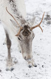 Reindeer. A closeup photo of a reindeer's head with horns Stock Photography