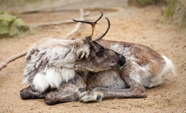 Reindeer. Resting on the ground Royalty Free Stock Photo