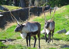 Reindeer. Grazing in a field Royalty Free Stock Photo