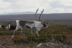 Reindeer. Male reindeer in the mountains Royalty Free Stock Photography