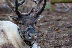 Reindeer Royalty Free Stock Photos