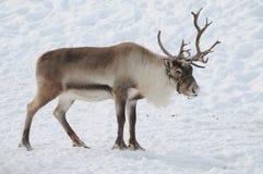 Free Reindeer Stock Image - 32238491