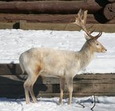 Reindeer. A profile of a white reindeer Royalty Free Stock Photo