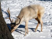 Reindeer. A reindeer foraging for food Royalty Free Stock Photography