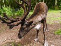 Reindeer. Reindeer/Caribou in a field scotland Stock Photos