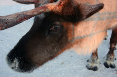 Reindeer. The face of a reindeer Royalty Free Stock Image