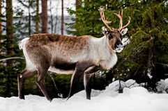 Reindeer stock photo