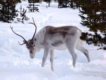 Reindeer. Grazed in lappish forest-tundra on early spring stock photography