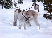 Reindeer. Grazed in lappish forest-tundra on early spring royalty free stock photography