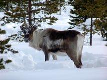 Reindeer-09 Immagine Stock