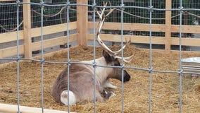 reindeer Стоковое фото RF