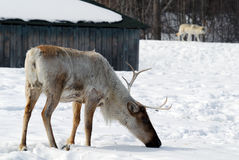 Reindeer. Picture of a Reindeer also known as Caribou Royalty Free Stock Photo