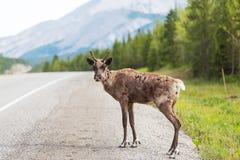 reindeer Стоковые Изображения