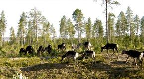 Reindeer Stock Image