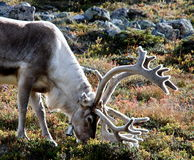 Reindeer. In Autumn Tundra in Lapland, Finland Stock Images