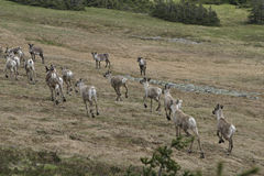 Reindeer. In the mountains Stock Photography