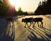 Reindeer. Silhouettes of three reindeer crossing a snow covered road casting long shadows in the afternoon sun Royalty Free Stock Photography