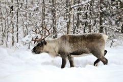 Reindeer Stock Photography