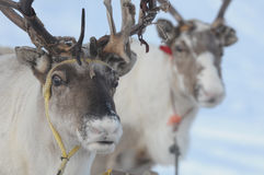 Reindeer. The portrait of reindeer from north Norway Royalty Free Stock Photo