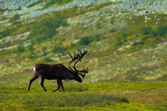 reindeer стоковое изображение