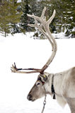 Reindeer. Closeup with reindeer in natural environment in Sweden royalty free stock photos