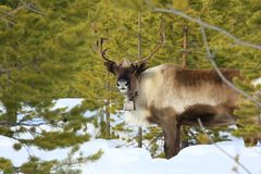 Reindeer Royalty Free Stock Images