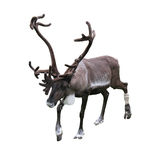 Reindeer. Over 100% white background Stock Photos