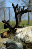 Reindeer. Profile shot of a reindeer Stock Image