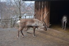 Reindeer against the background of an old wooden house stock photography