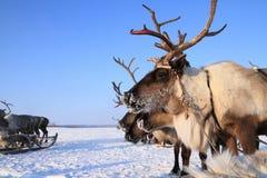 Reindeer against the blue sky Royalty Free Stock Photos