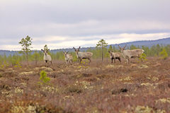 Reindeer alert when danger threatened. Five deers on high bog of Lapland Royalty Free Stock Photography
