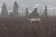 Caribou in Denali National Park. The reindeer, also known as the caribou in North America, is a species of deer with circumpolar distribution, native to Arctic royalty free stock photos
