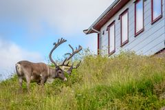 Reindeer with antlers eating grass outside house in village, Finnmark, Norway stock photography