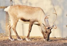 Reindeer with antlers (Rangifer tarandus) Stock Photos