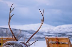 Reindeer antlers and sleighs in winter. Massive reindeer antlers in front of sleighs carrying tourists with winter snowy landscape in the background, Tromso royalty free stock photography